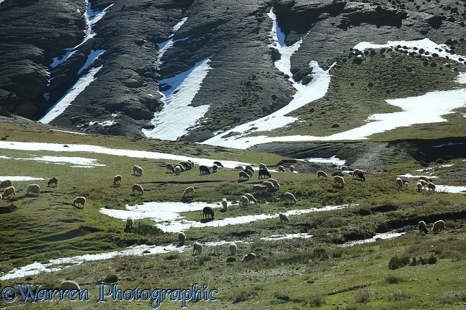Sheep grazing near summit of Tizi-n 'Tichka pass.  Morocco