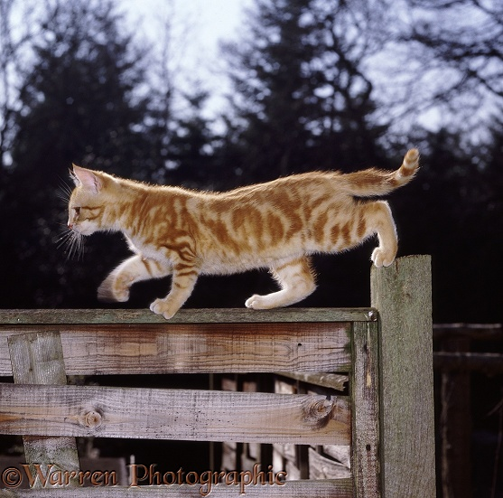 Ginger kitten walking on a garden fence