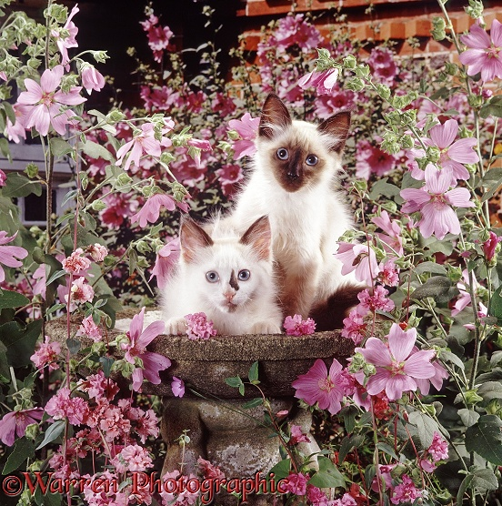 Seal-point Ragdoll-cross kittens, 8 weeks old, in an empty birdbath, among pink mallow flowers and double Clarkia