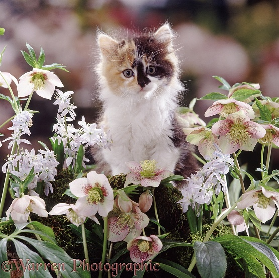 Tortoiseshell-and-white Persian-cross kitten among Scillas and Lenten Roses