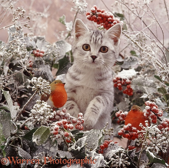 Portrait of silver-spotted kitten (Peregrine x Thisbe), 4 months old, among snowy holly berries and ivy flowers with robins