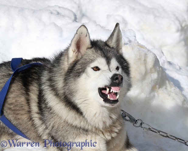 Aggressive Husky bearing teeth and snarling