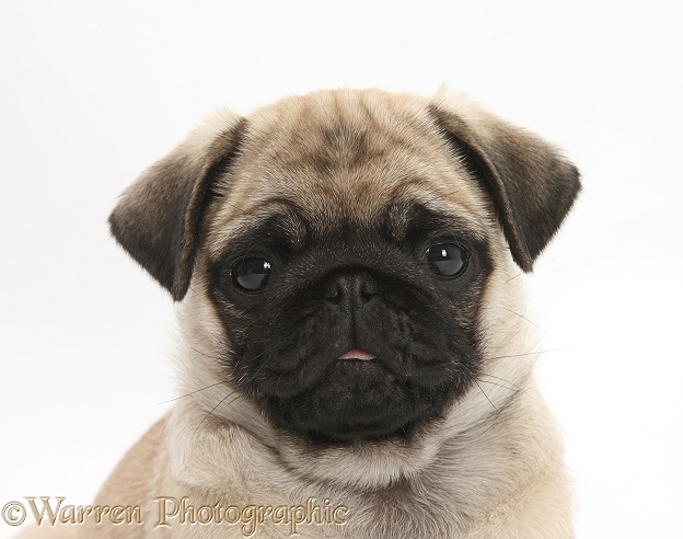 Fawn Pug pup, 8 weeks old, portrait, white background