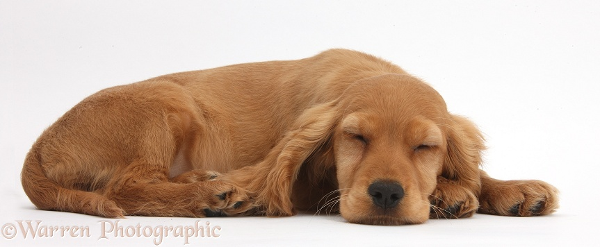 Golden Cocker Spaniel puppy, Maizy, lying asleep with her chin on the floor, white background