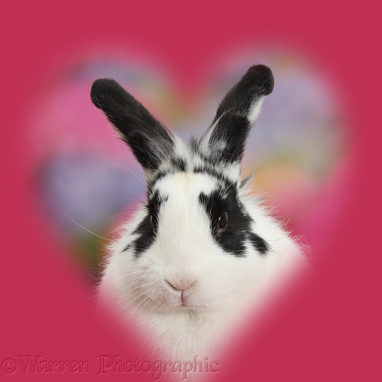 Black-and-white rabbit, Bandit, with soft heart surround