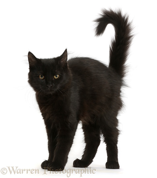 Fluffy black kitten, 12 weeks old, with arched back like a witch's cat, white background