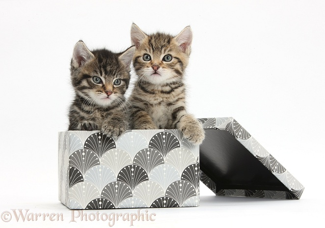Cute tabby kittens, Stanley and Fosset, 6 weeks old, in a decorative cardboard box, white background