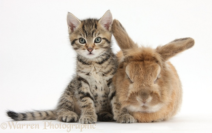 Cute tabby kitten, Stanley, 7 weeks old, with Lionhead-cross rabbit, Tedson, white background