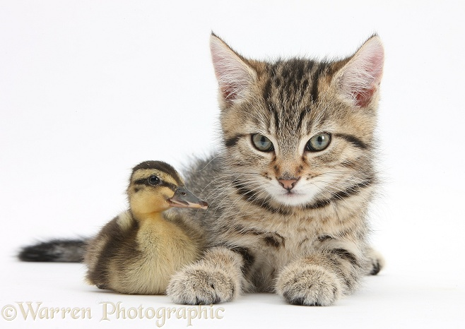 Cute tabby kitten, Stanley, 9 weeks old, with Mallard duckling, white background
