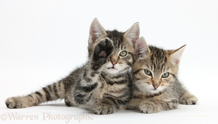 Cute tabby kittens, Stanley and Fosset, 9 weeks old, lounging together, Fosset waving a paw, white background