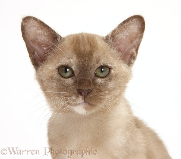 Burmese kitten, white background