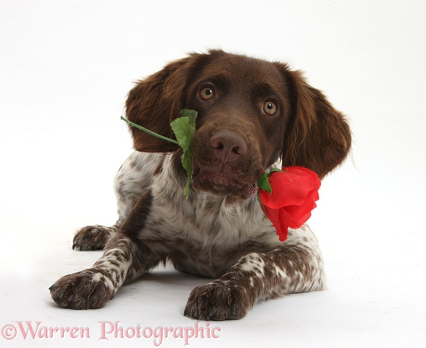 Munsterlander, Helena, 5 months old, with a red rose, white background