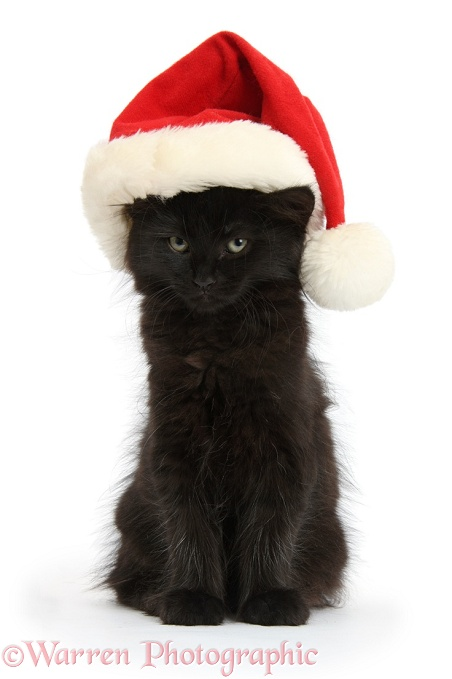 Fluffy black kitten, 9 weeks old, wearing a Father Christmas hat, white background
