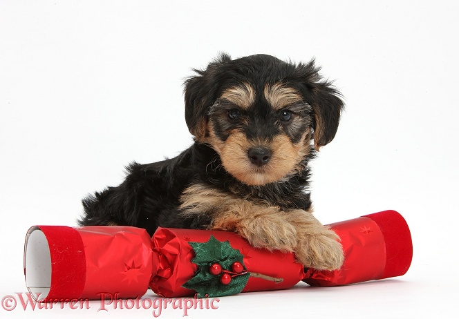 Black-and-tan Yorkipoo pup, 7 weeks old, with a Christmas cracker, white background