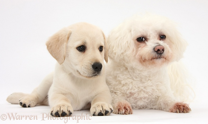 Bichon Frise bitch, Poppy, with Yellow Labrador Retriever puppy, 8 weeks old, white background