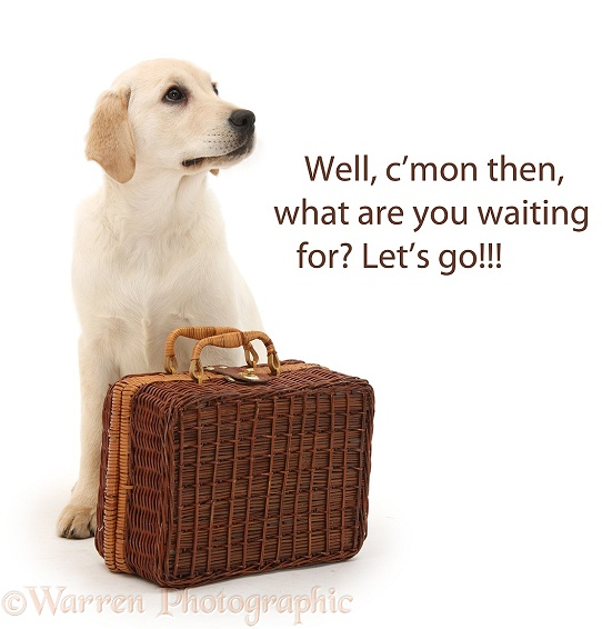 Yellow Labrador Retriever pup, 4 months old, waiting by a suitcase, white background