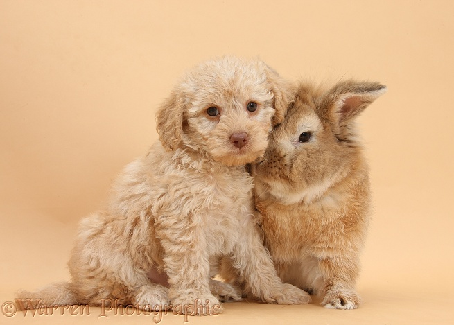 Toy Labradoodle puppy and Lionhead-cross rabbit, Tedson, on beige background