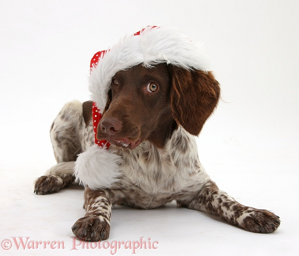 Munsterlander, Helena, 5 months old, wearing a Father Christmas hat, white background