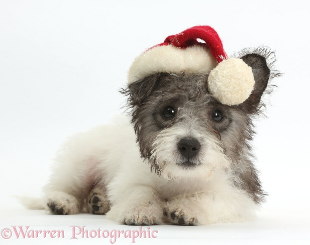 Jack Russell x Westie pup, Mojo, 12 weeks old, wearing a Father Christmas hat, white background