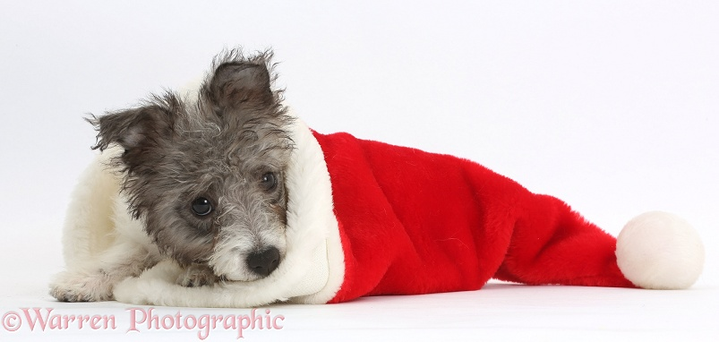 Jack Russell x Westie pup, Mojo, 12 weeks old, in a Father Christmas hat, white background