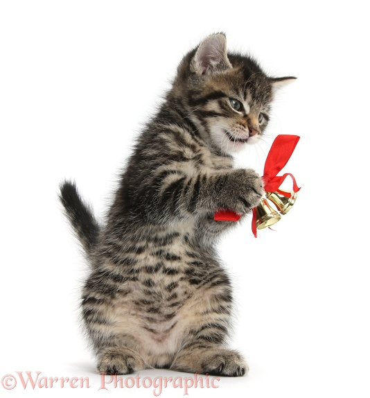 Cute tabby kitten, Fosset, 7 weeks old, playing with Christmas bells on a red ribbon, white background