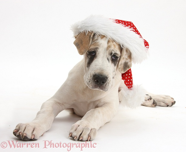 Great Dane pup, Tia, 14 weeks old, lying with head up, wearing a Father Christmas hat, white background