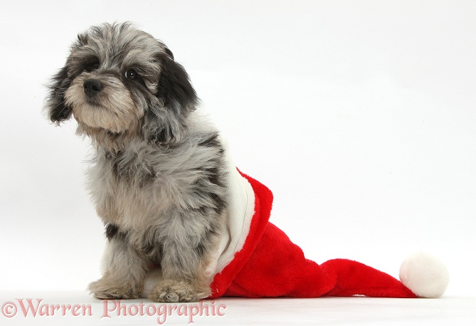 Fluffy black-and-grey Daxie-doodle pup, Pebbles, in a Father Christmas hat, white background