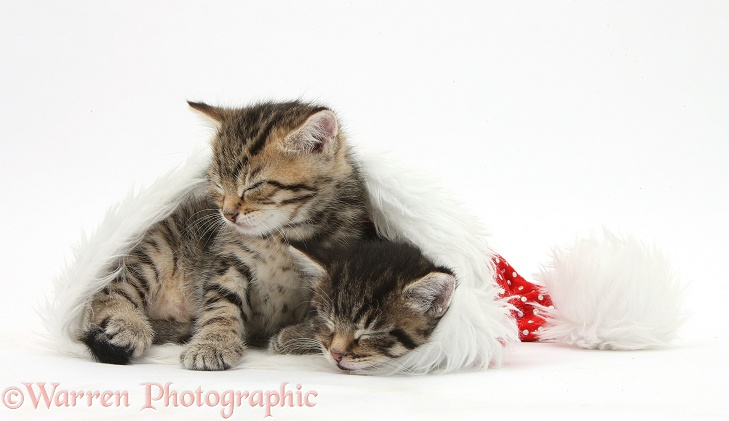 Cute tabby kittens, Stanley and Fosset, 5 weeks old, sleeping in a Father Christmas hat, white background
