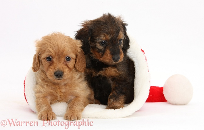 Doxie-doodle pups, 6 weeks old, in a Father Christmas hat, white background