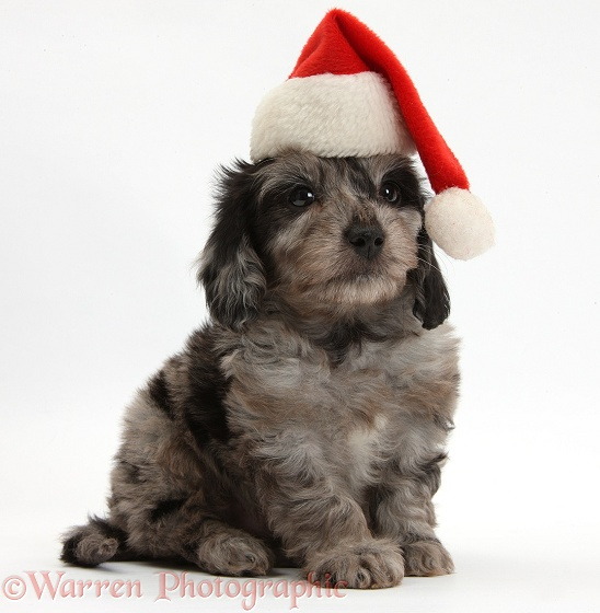 Black-and-grey merle Daxiedoodle puppy, wearing a Father Christmas hat, white background
