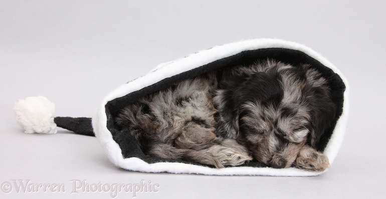 Black-and-grey merle Daxiedoodle pup sleeping in a black Father Christmas hat on grey background