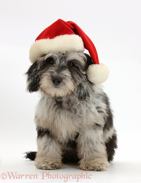 Fluffy black-and-grey Daxie-doodle pup, Pebbles, wearing a Father Christmas hat, white background