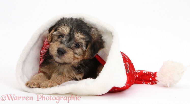 Yorkipoo pup, 7 weeks old, in a Father Christmas hat, white background