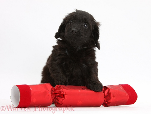 Black Doxie-doodle puppy, 6 weeks old, with paws over a red Christmas cracker, white background