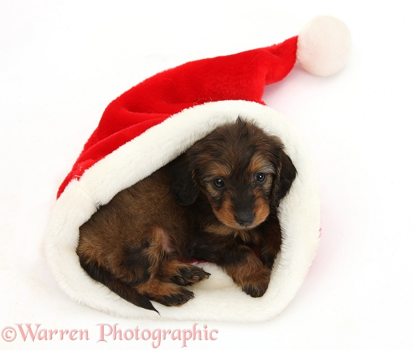 Red-and-black merle Doxie-doodle pup, 6 weeks old, in a Father Christmas hat, white background