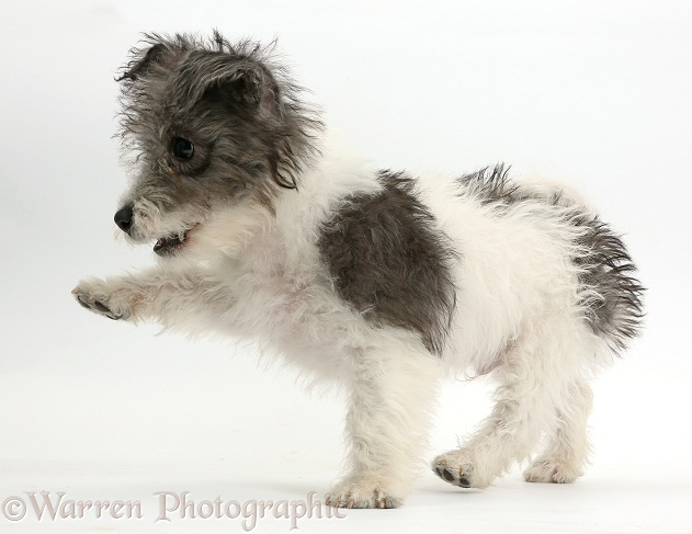 Jack Russell x Westie pup, Mojo, 12 weeks old, with raised paw, white background