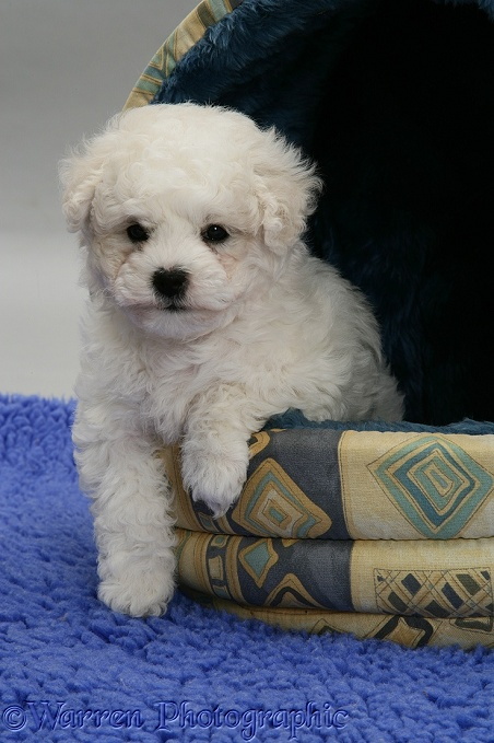 Cute Bichon Frise pup in an igloo bed