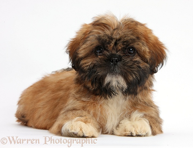 Brown Shih-tzu pup lying with head up, white background