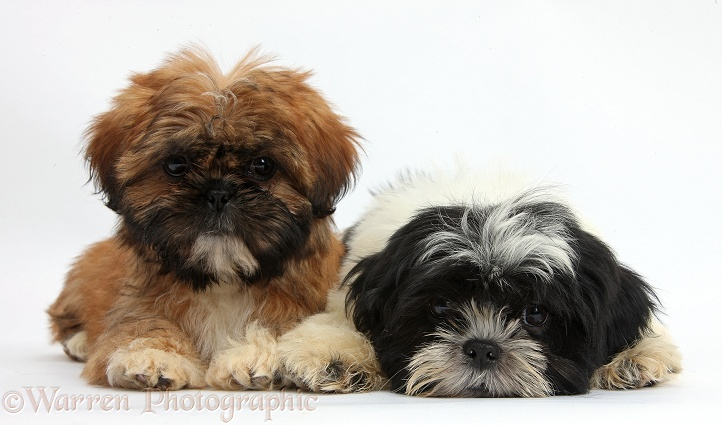 Click Play To Watch Our Puppy Click to View Our Shihtzu Channel on Youtube Our ShihTzus are tinytoy size weighing out between 6 9 lbs short legs cobby