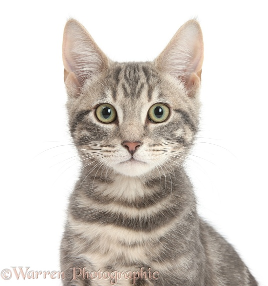 Portrait of tabby cat, Max, 5 months old, white background