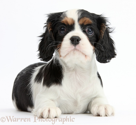 Tricolour Cavalier King Charles Spaniel puppy lying with head up, white background