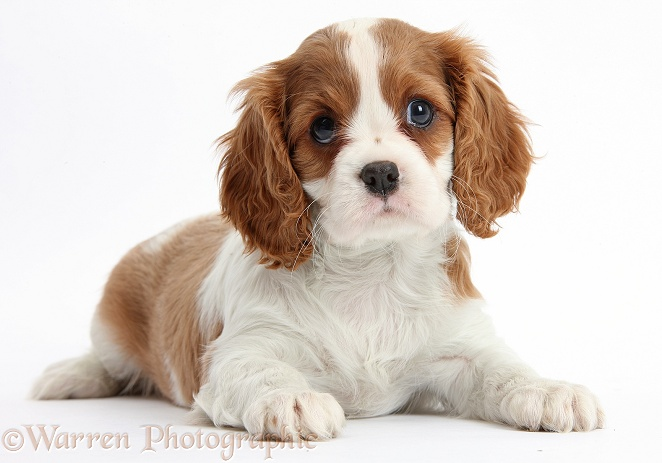 Blenheim Cavalier King Charles Spaniel puppy lying with head up, white background