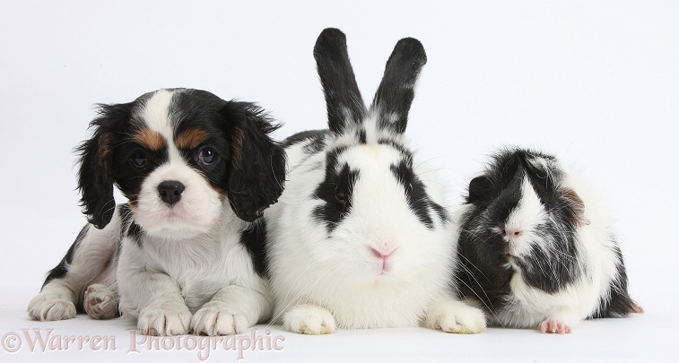 Black-and-white rabbit, Bandit, with tricolour Cavalier King Charles Spaniel puppy and Guinea pig, white background