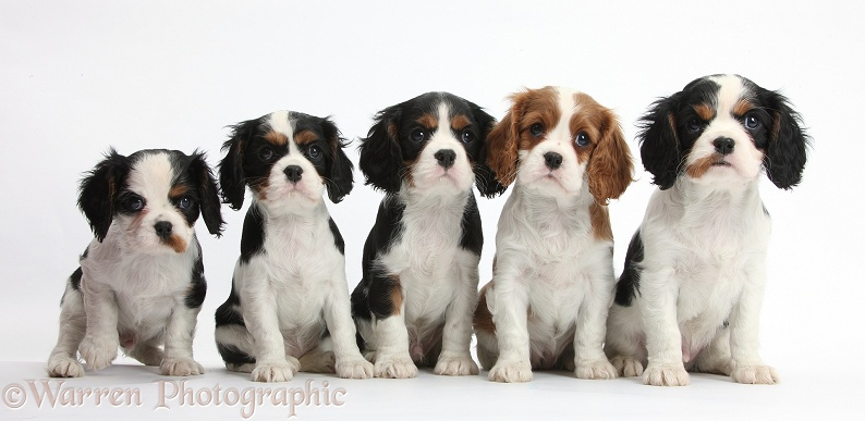 Dogs: Five Cavalier puppies photo - WP37989