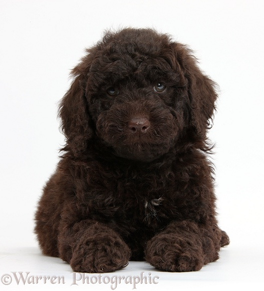 Dog: Cute chocolate Toy Goldendoodle puppy photo WP37991