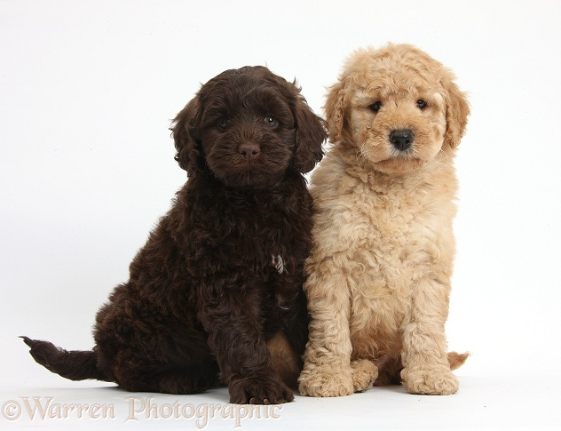Two cute Toy Goldendoodle puppies, one golden and one chocolate, white background