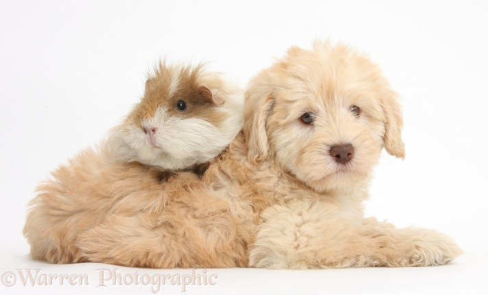 Cute Toy Goldendoodle puppy and Guinea pig, white background