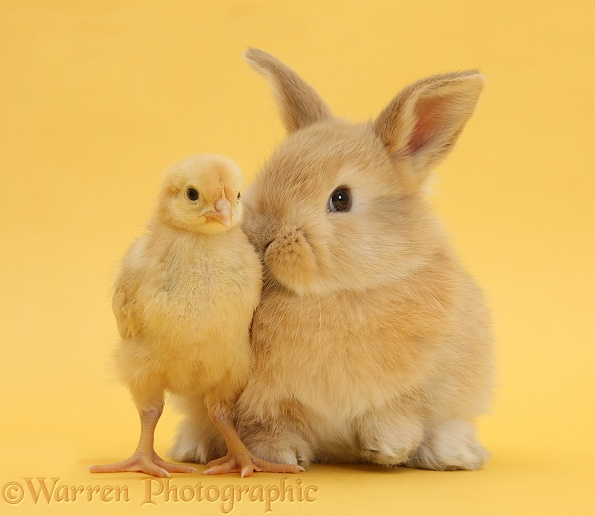 Sandy rabbit and bantam chick on yellow background