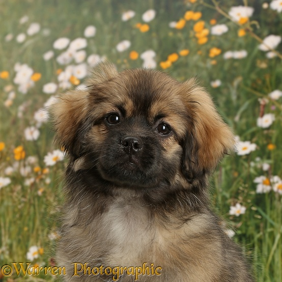 Tibetan Spaniel dog puppy, Bair, 13 weeks old
