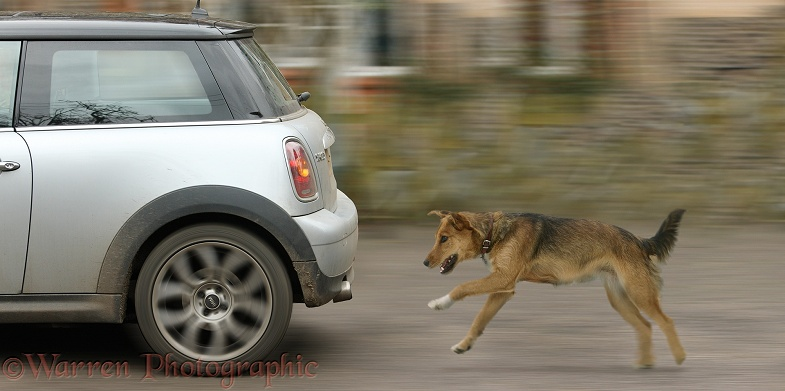 Lakeland Terrier x Border Collie, Bess, chasing a car